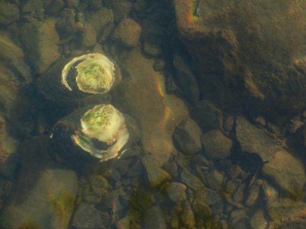 river-clam